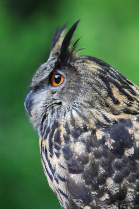 Profile of great horned owl