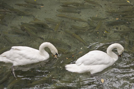 Mute swans at Rainbow Springs