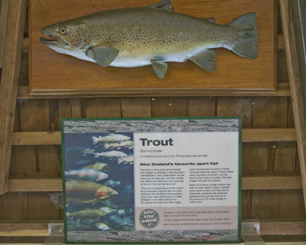 Brown trout at Rainbow Springs